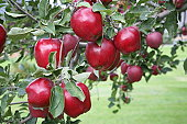 Red Delicious Apples on a tree branch.