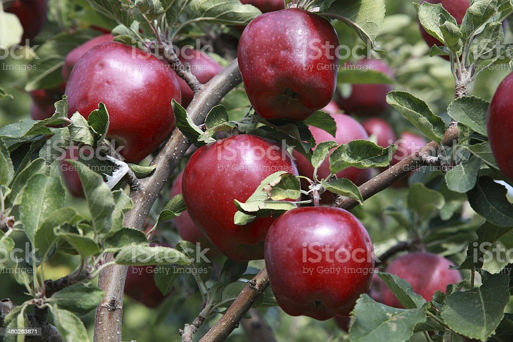 Red Delicious apples on a tree branch. royalty-free stock photo