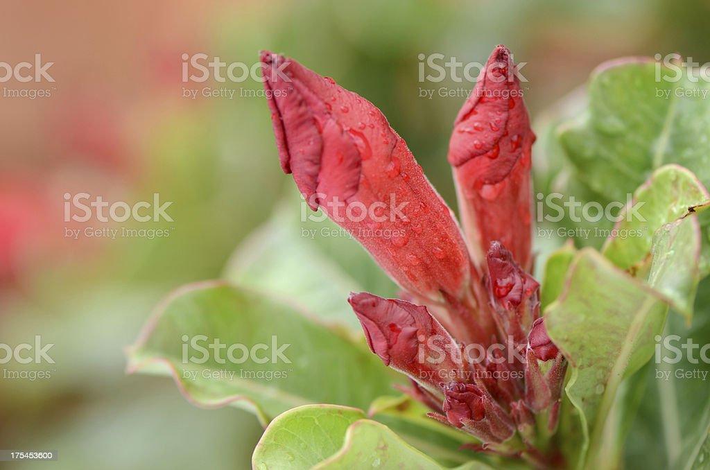 Red Desert Rose flower in Thailand stock photo