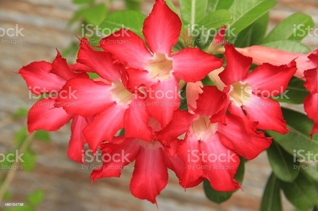 Red Desert Roses stock photo