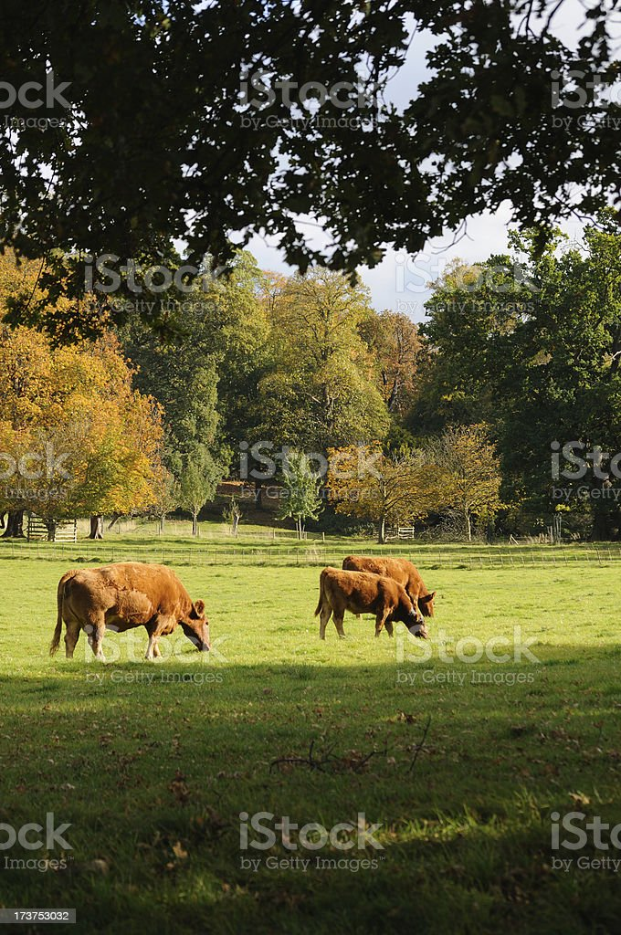 Red Devon Cattle royalty-free stock photo
