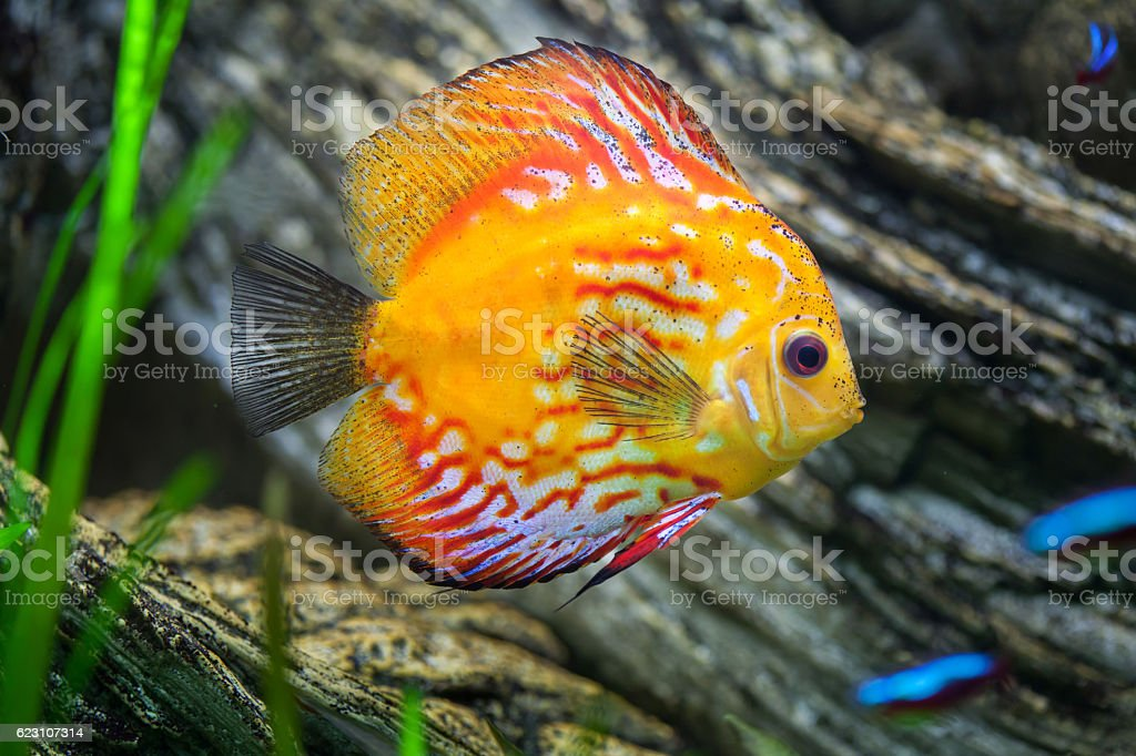 Red discus (Symphysodon discus). stock photo
