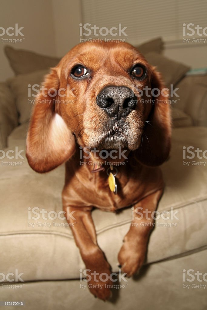 red dog nose royalty-free stock photo