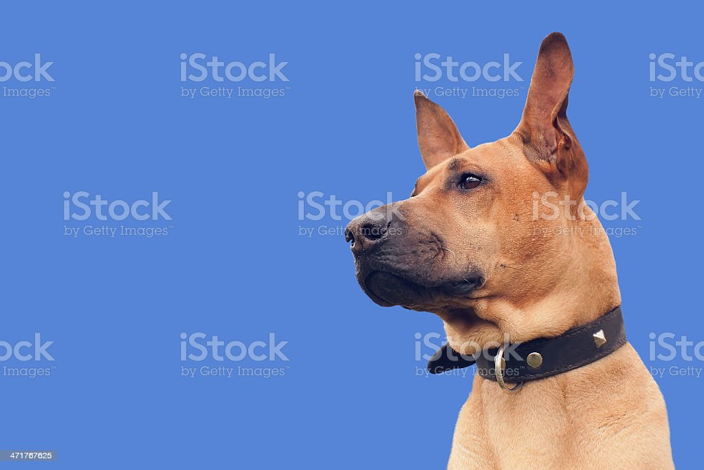 Red dog royalty-free stock photo
