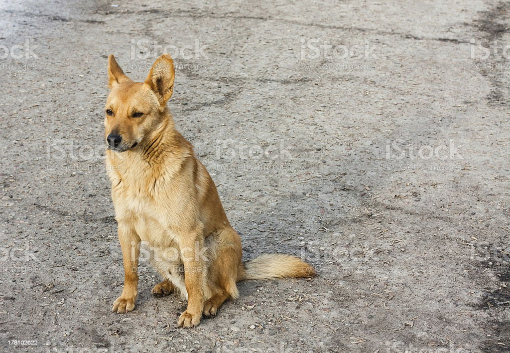 Red Dog Sitting On The Road royalty-free stock photo