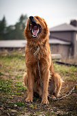 red dog yawn