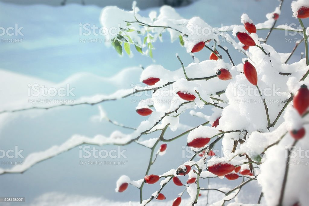 Red Dogrose berries in winter stock photo