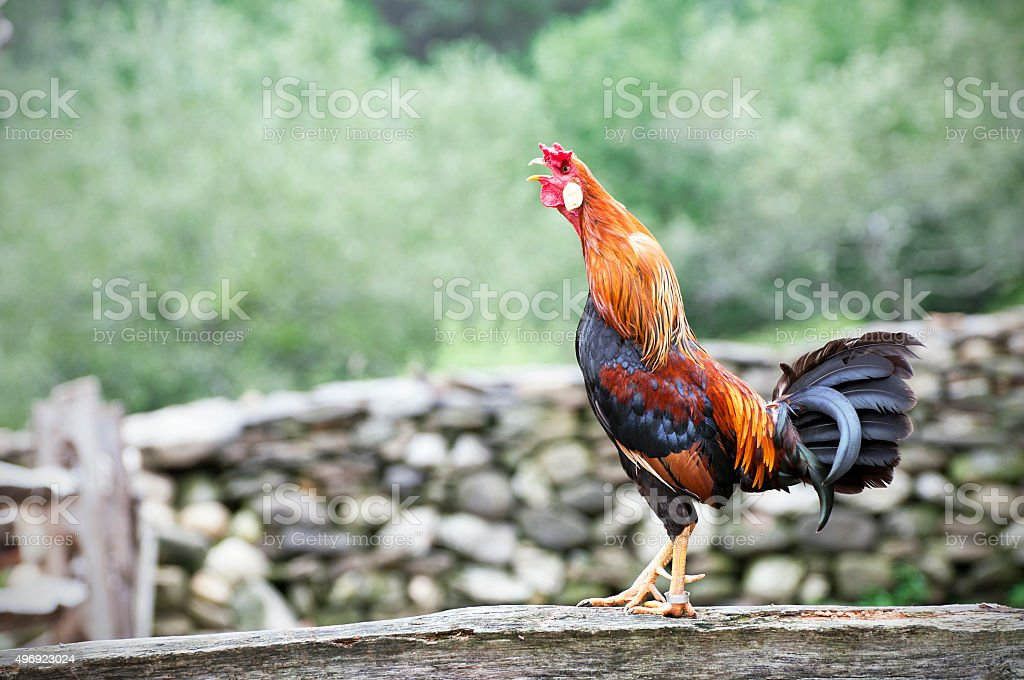 Red Dorking rooster crowing stock photo