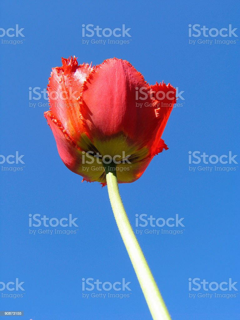 Red double Tulip royalty-free stock photo