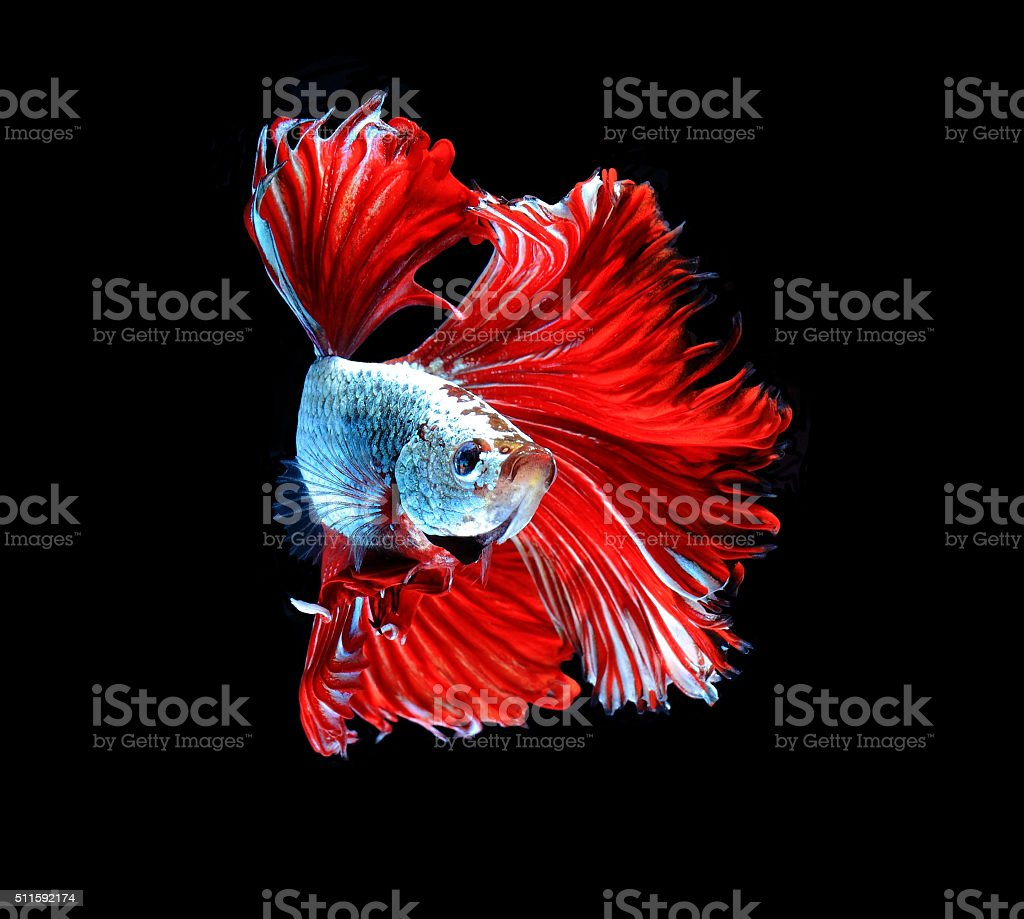 Red dragon siamese fighting fish, betta fish isolated on black stock photo