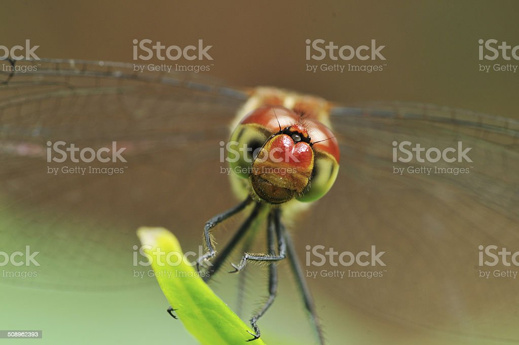 Red dragonfly in Japan stock photo