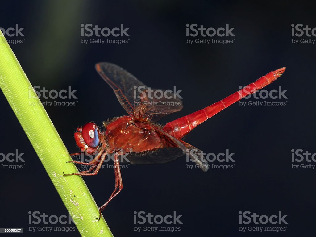 Red dragonfly macro royalty-free stock photo