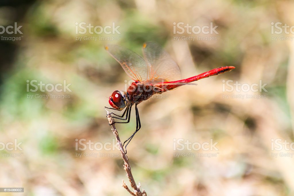 Red dragonfly on a branch on the island of Thassos stock photo