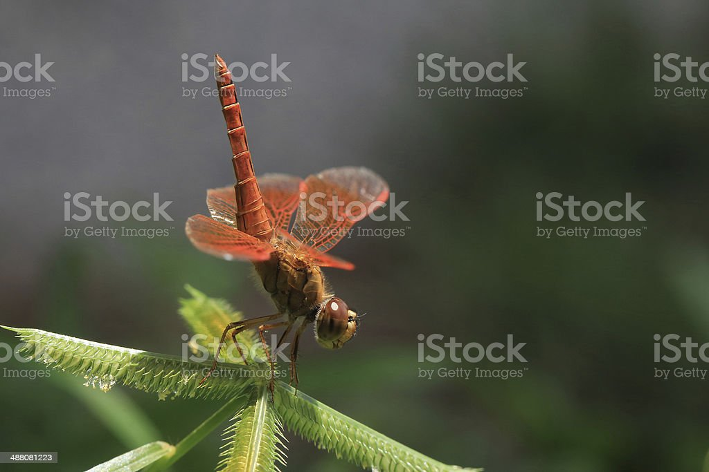 red dragonfly royalty-free stock photo