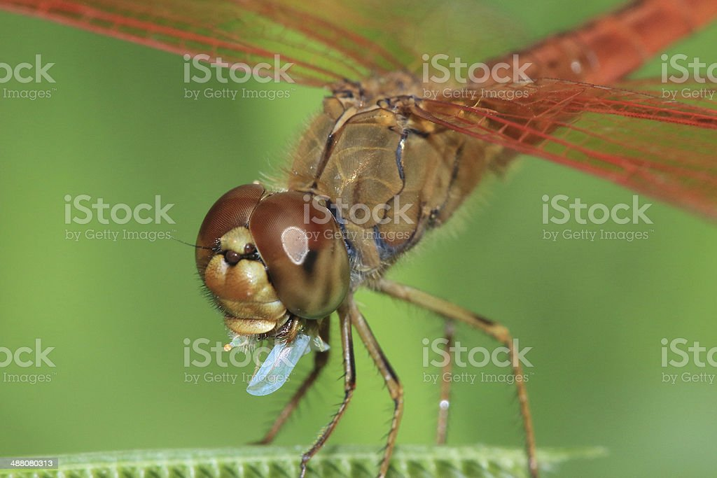 red dragonfly prey eaten royalty-free stock photo