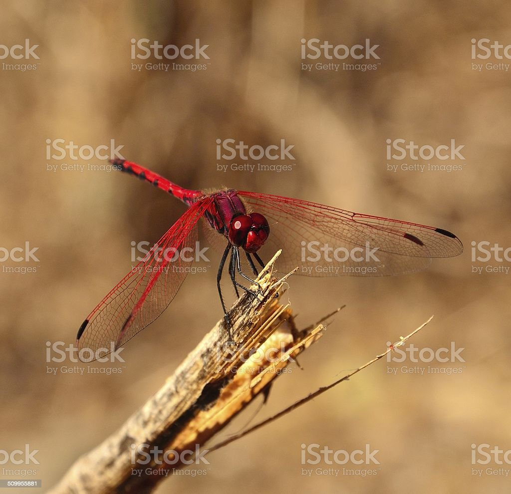 Red dragonfly sympetrum in equilibrium on a dry stem stock photo