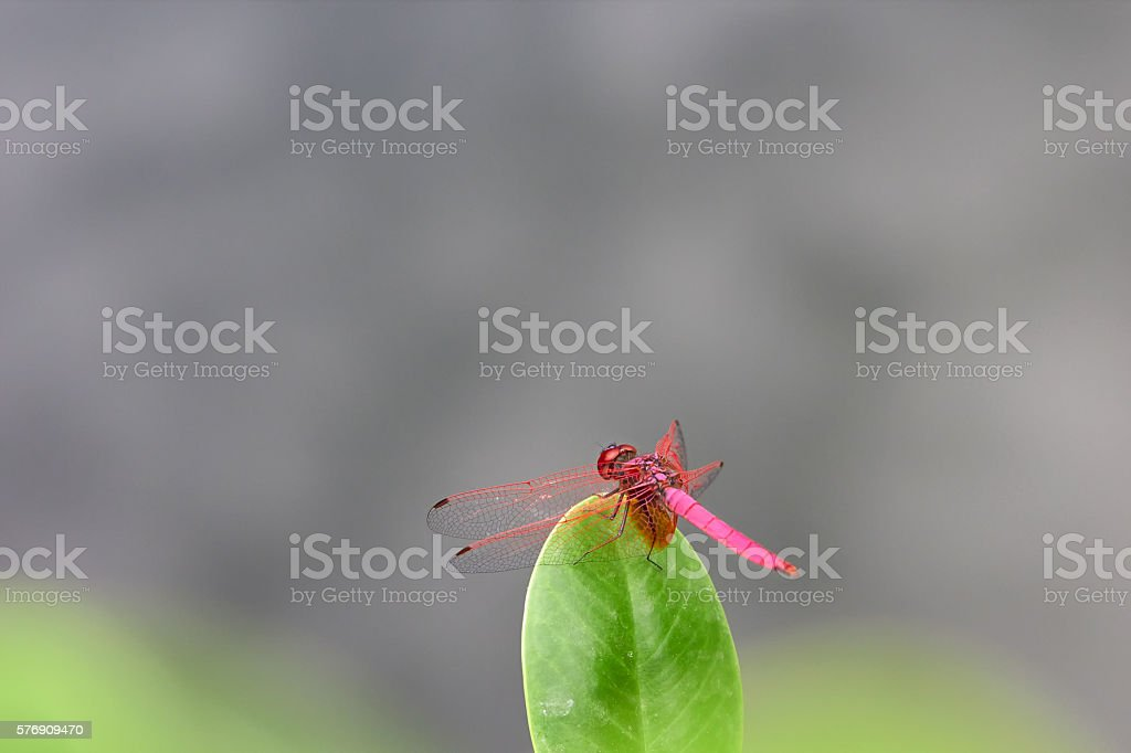 Red dragonfly with gray background stock photo