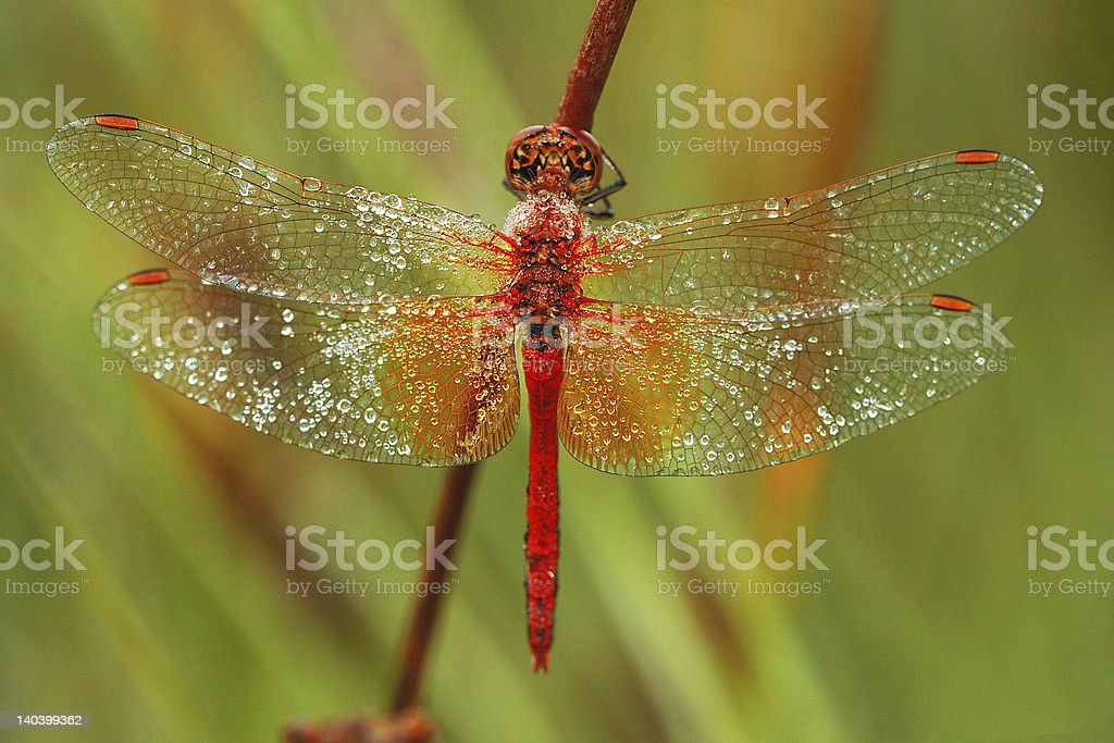 Red Drogonfly stock photo