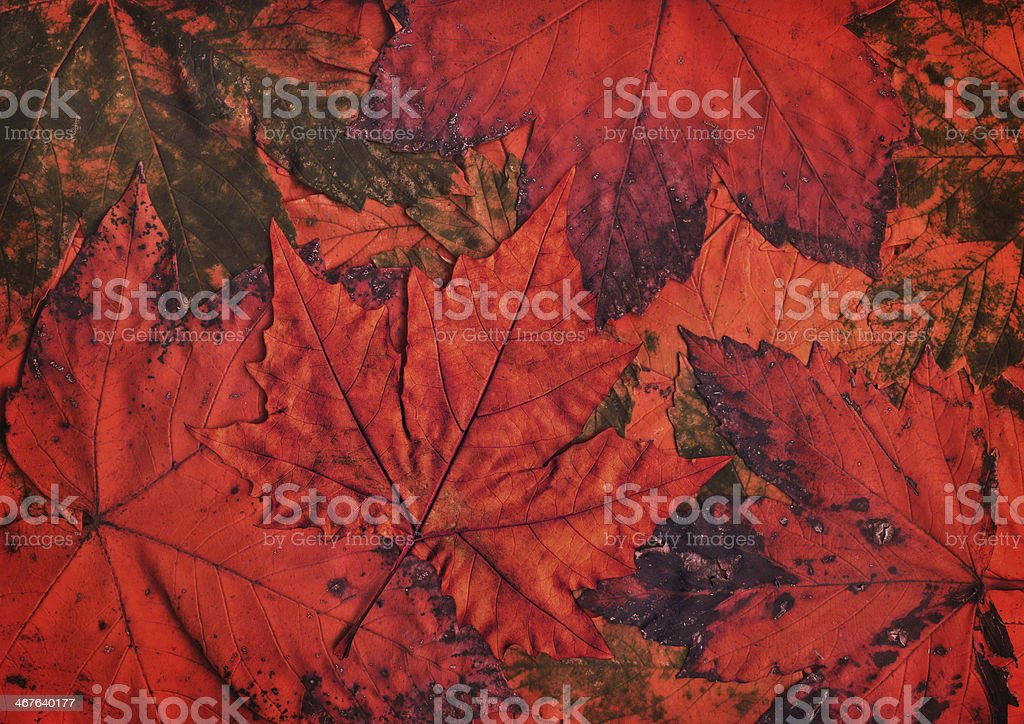Red Dry Maple Leaf Isolated On Autumn Foliage Backdrop royalty-free stock photo