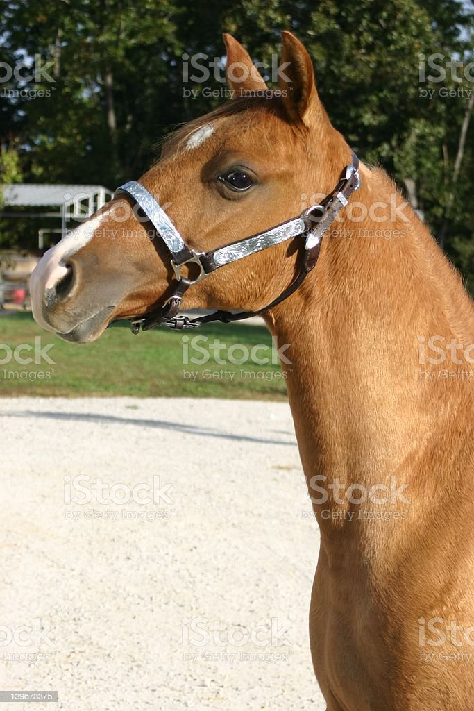 Red Dun Yearling stock photo