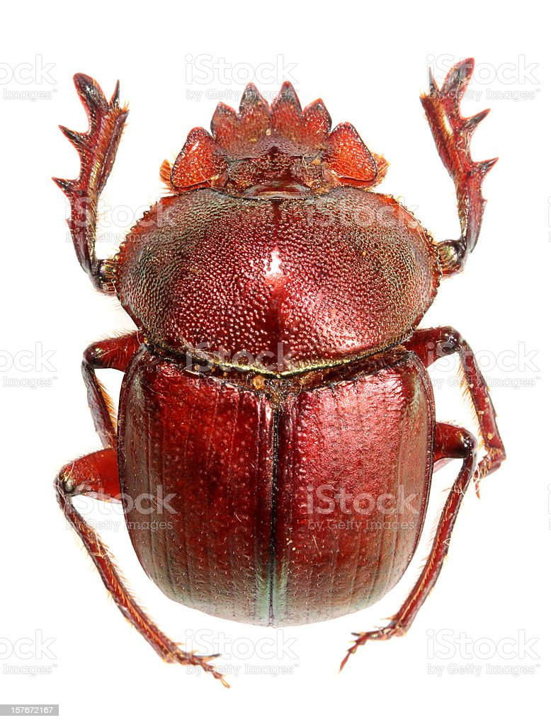 Red Dung Beetle stock photo