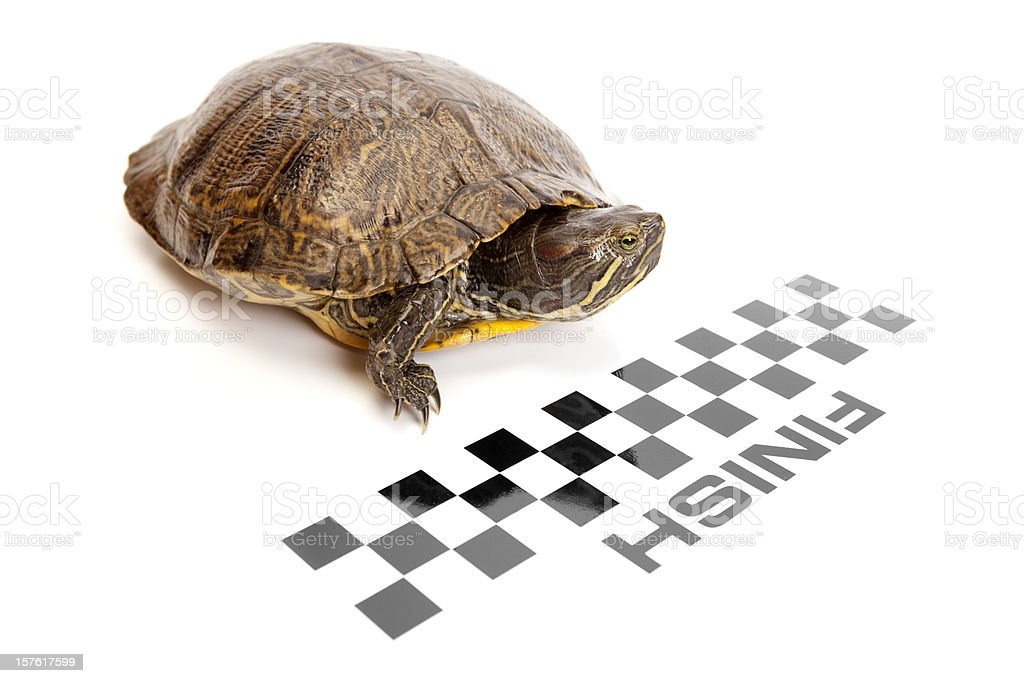 Red Ear Slider Turtle Crossing The Finish Line royalty-free stock photo