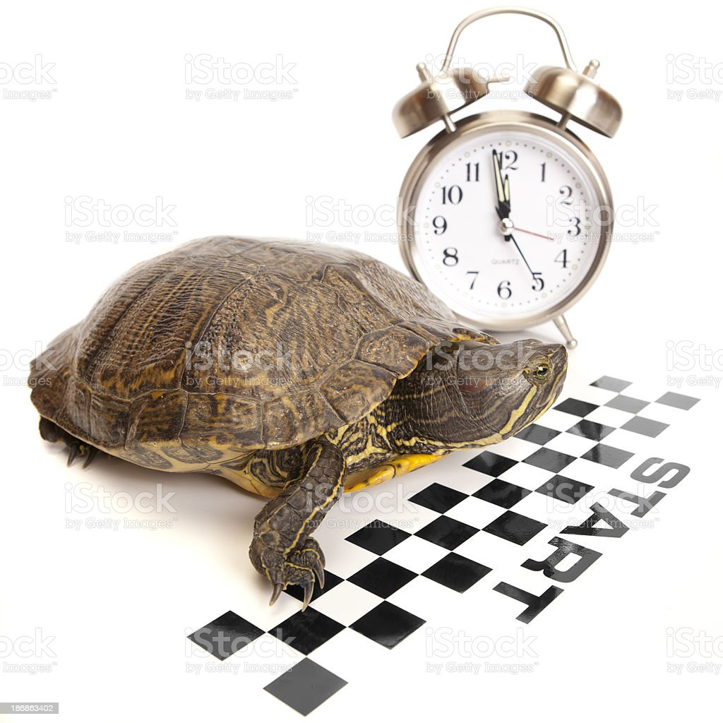 Red Ear Slider Turtle Getting Ready To Start royalty-free stock photo