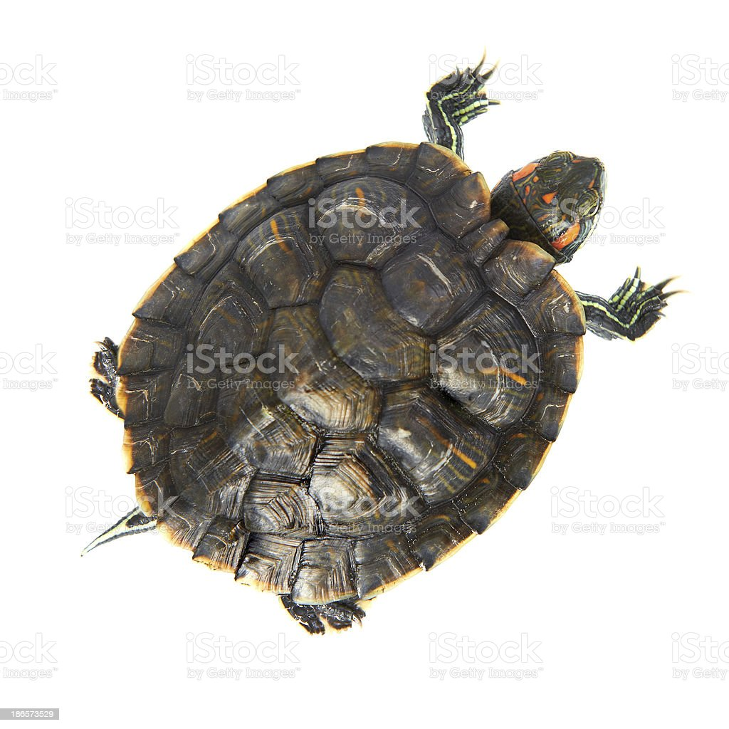 Red ear turtle stock photo