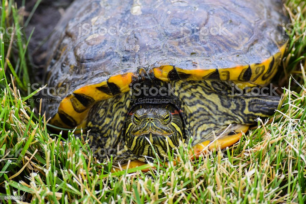 Red eared slider turtle in grass. stock photo