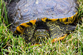 Red eared slider turtle in grass.