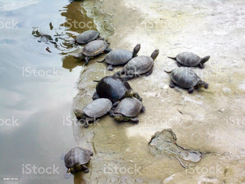 red eared slider turtles stock photo