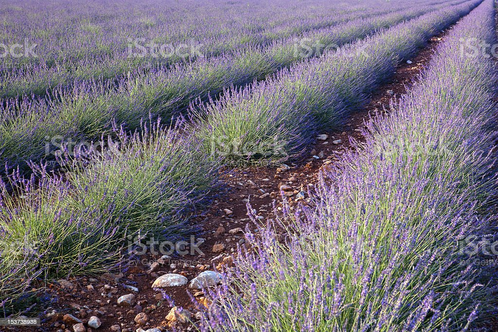 Red earth and lavender royalty-free stock photo