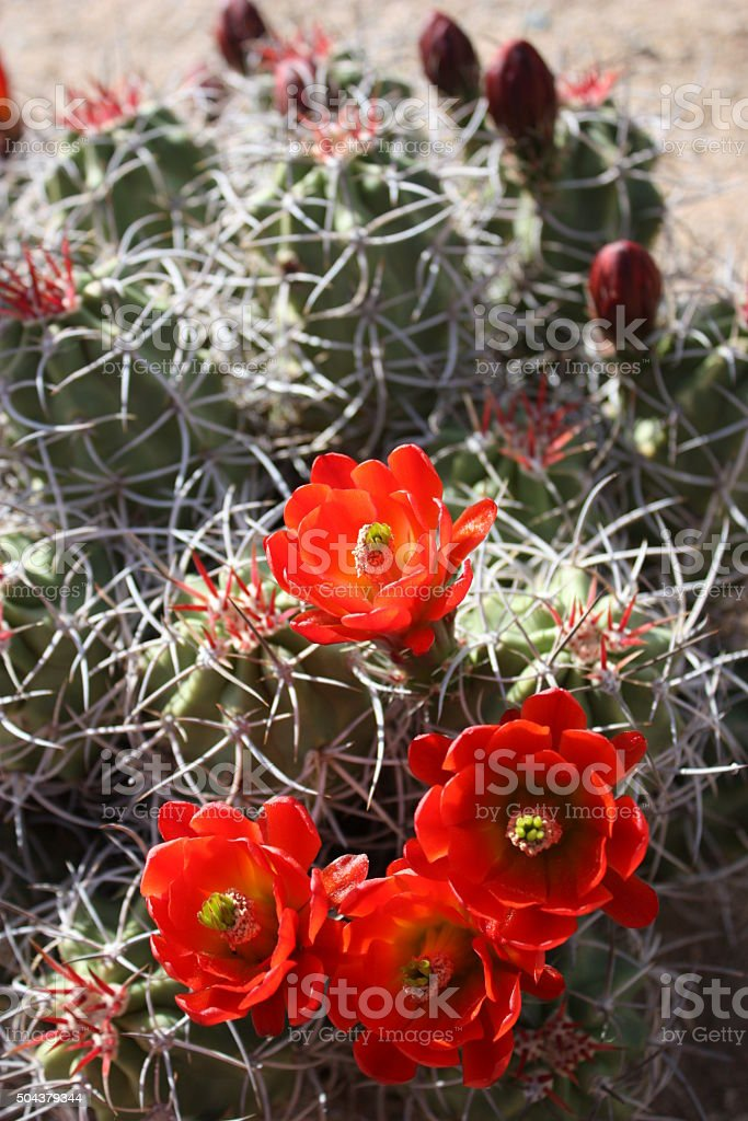 Red Echinocereus triglochidiatus Bloom in the Saguaro National Park, USA stock photo
