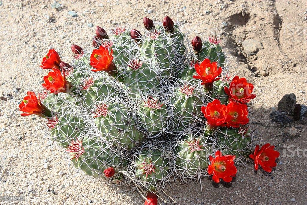 Red Echinocereus triglochidiatus in the Saguaro National Park, USA stock photo