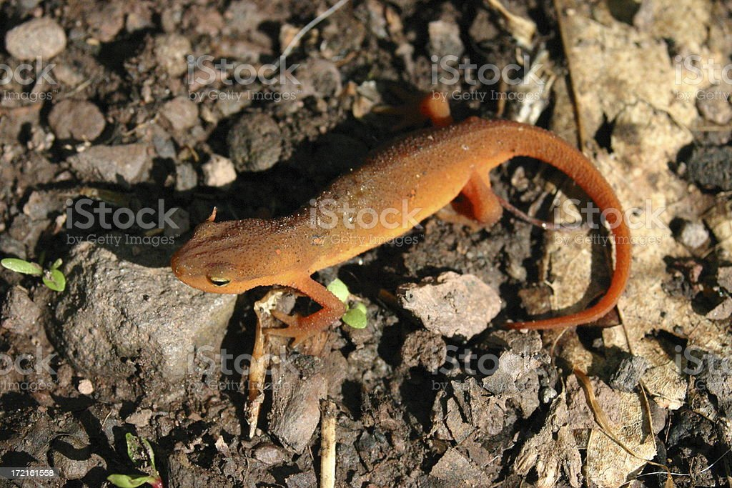 Red Eft royalty-free stock photo