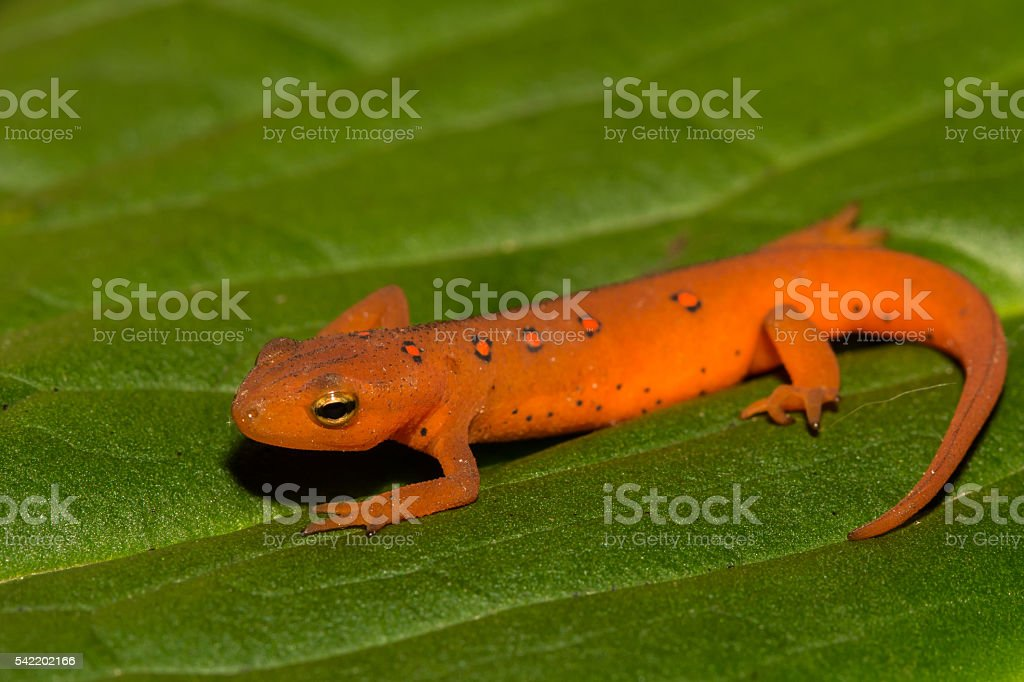 Red Eft stock photo