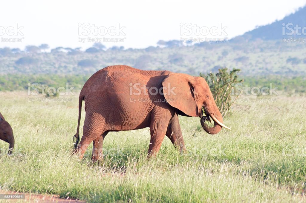 Red elephant grazing stock photo