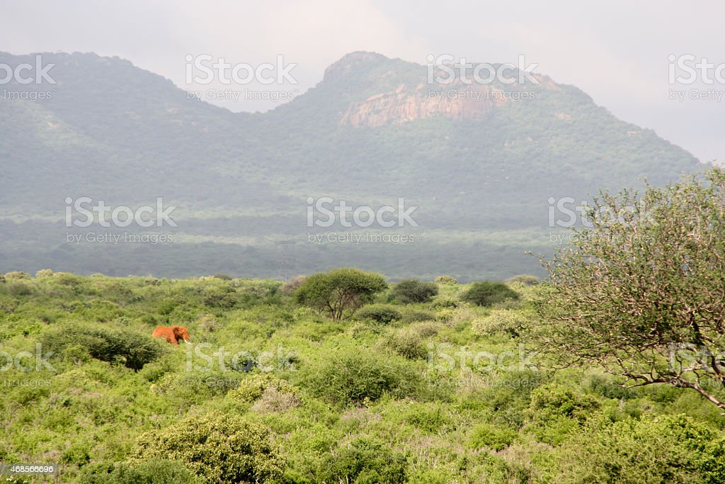 Red elephant walking through the bush of Tsavo National Park royalty-free stock photo