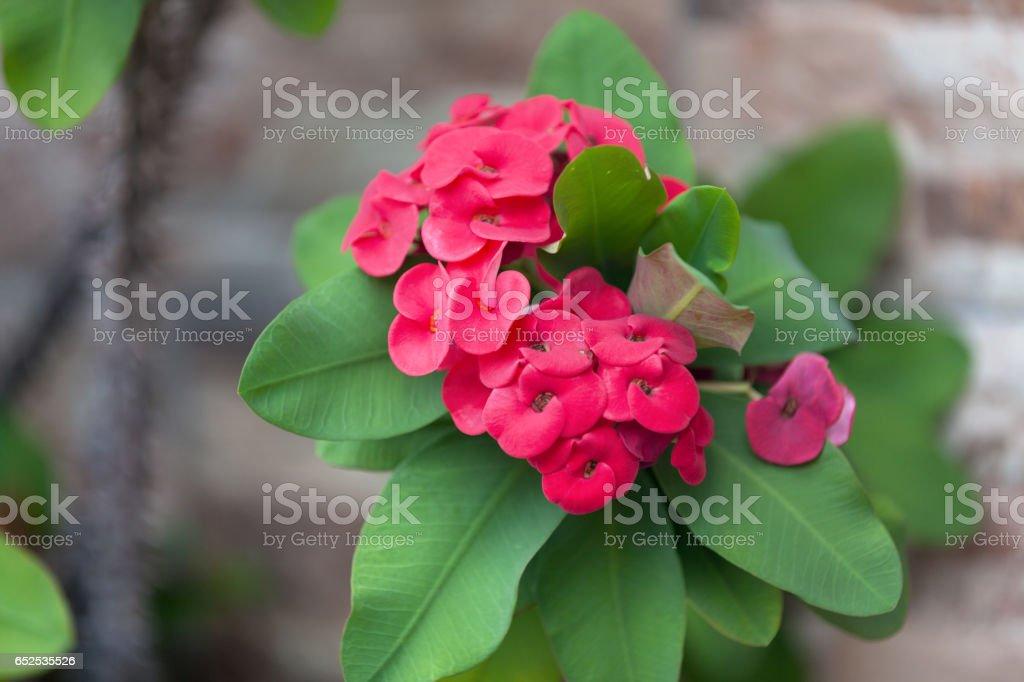 Red Euphorbia milii stock photo