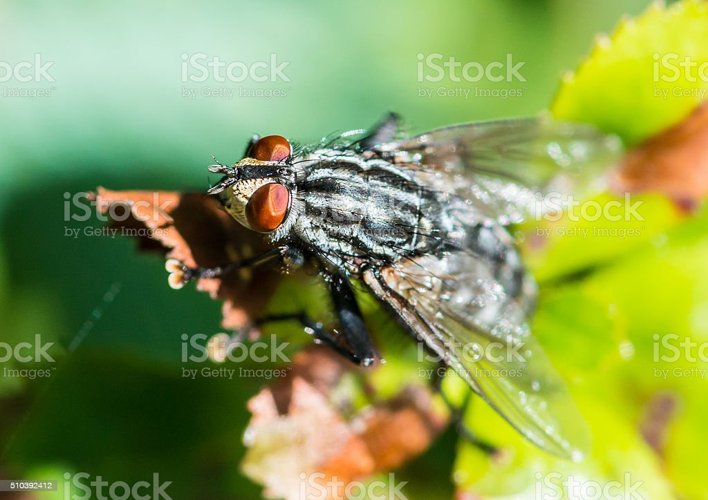 Red Eye Fly stock photo
