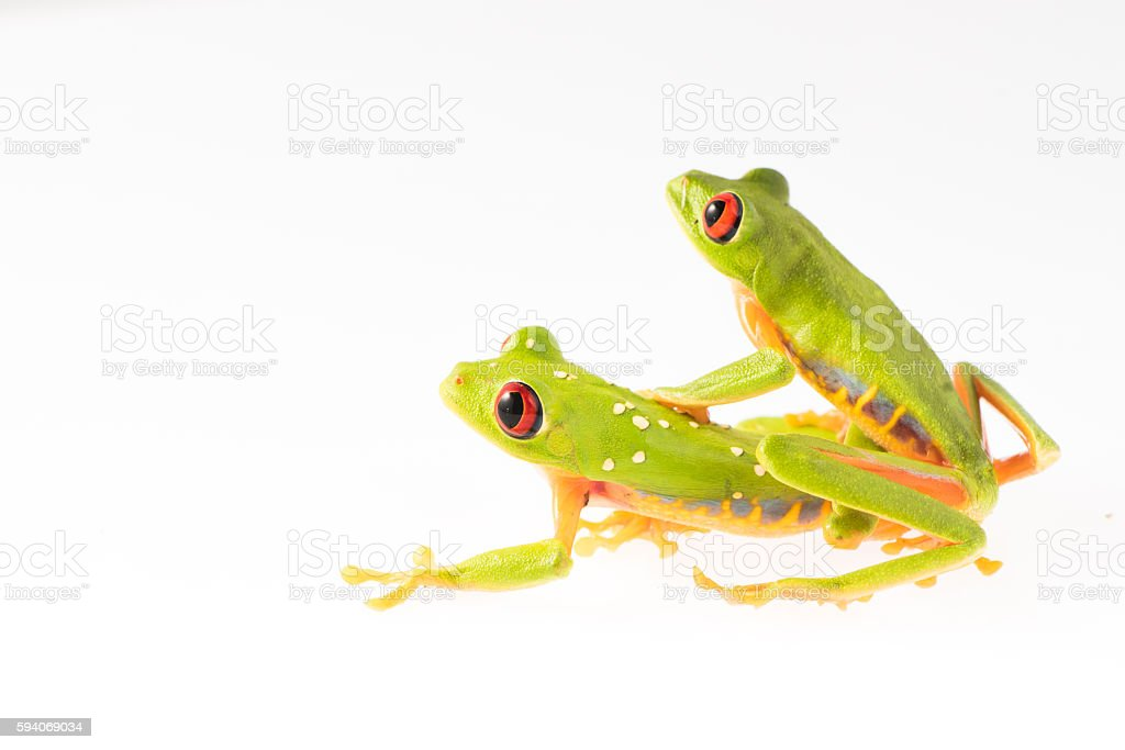 Red Eye Frog 19 stock photo