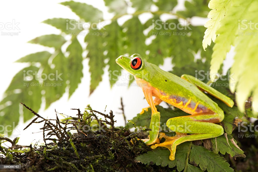 Red Eye Frog 21 stock photo
