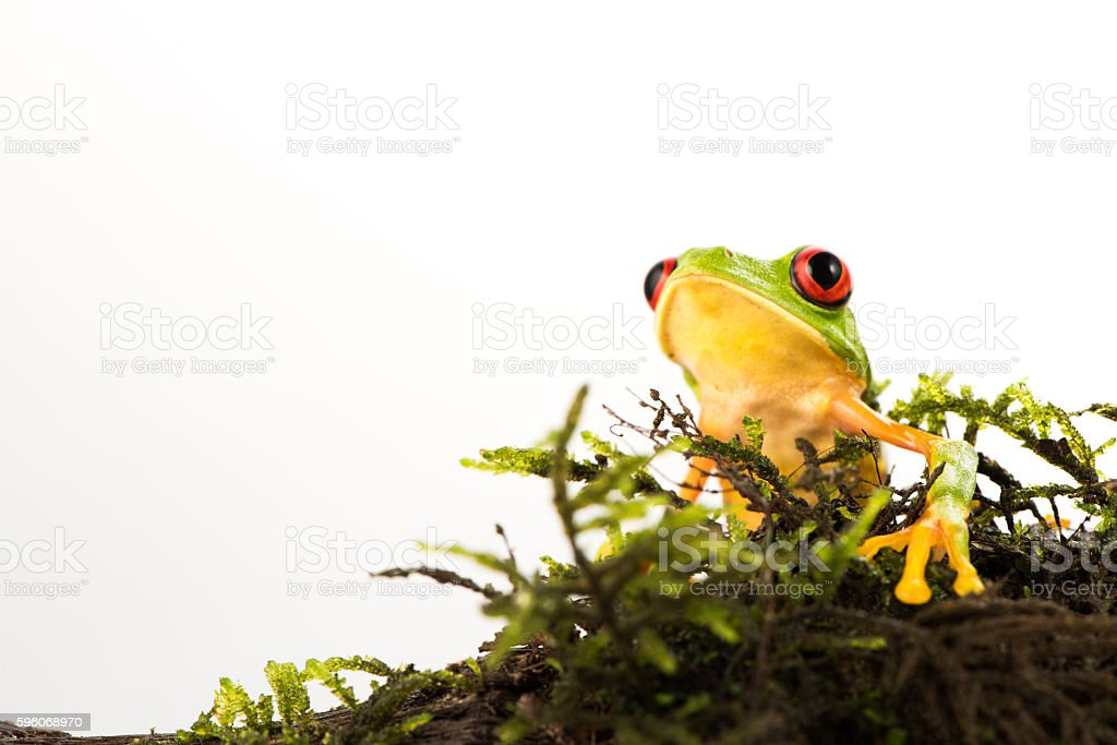 Red Eye Frog 22 stock photo