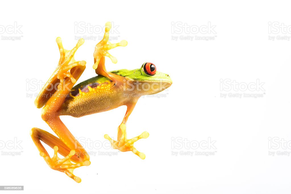 Red Eye Frog 25 stock photo