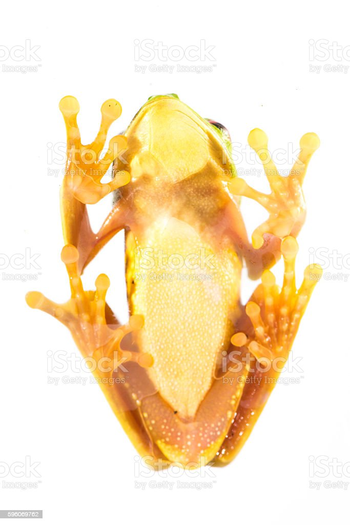 Red Eye Frog 26 stock photo