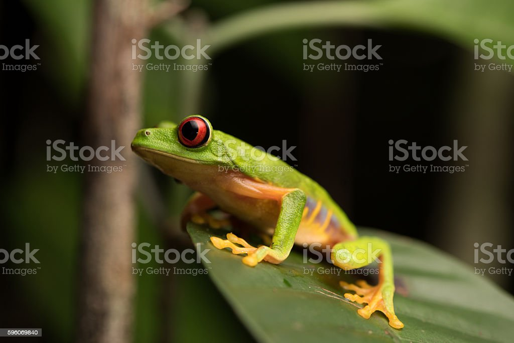 Red Eye Frog 27 stock photo