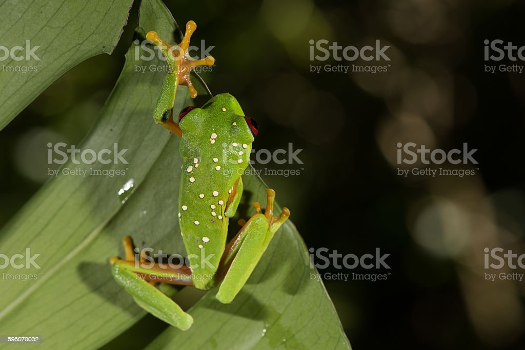 red Eye Frog 28 stock photo