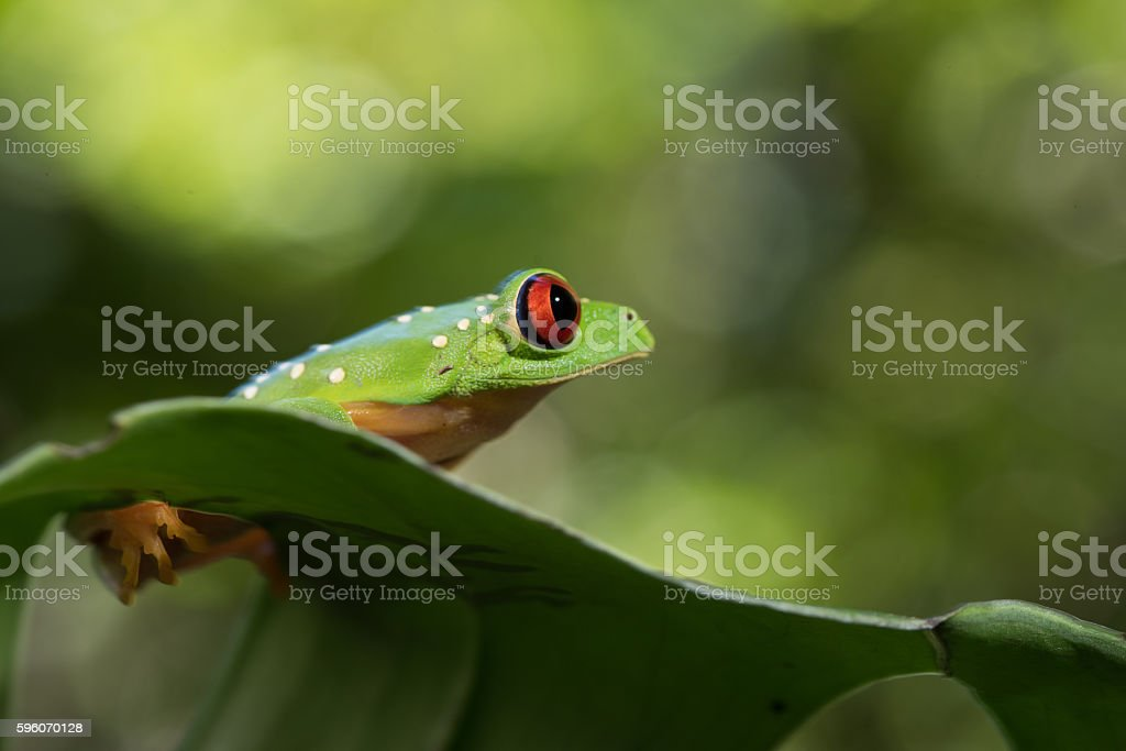 red Eye Frog 29 stock photo