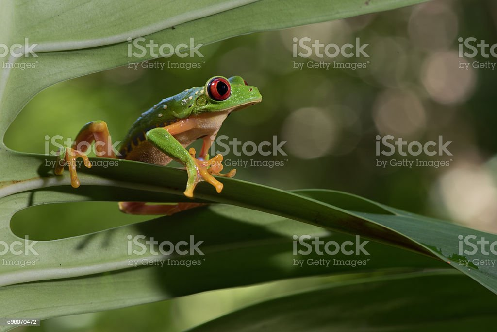 red Eye Frog 31 stock photo