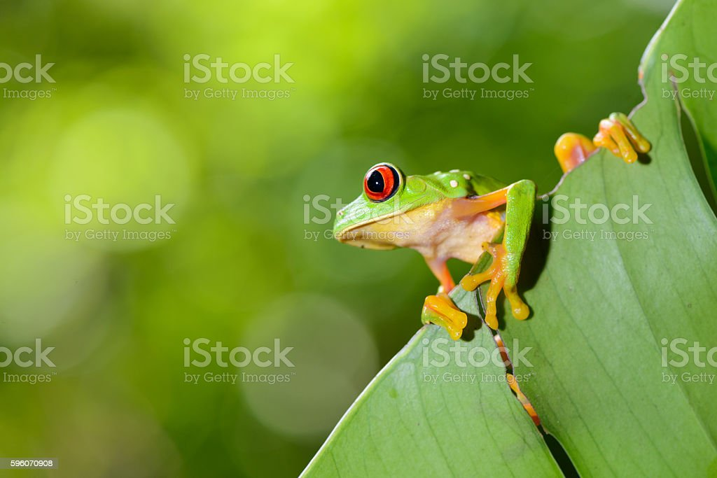 Red Eye Frog 34 stock photo
